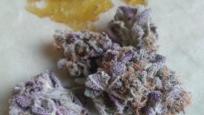 Purple PRoject True Cannabliss UKCSC