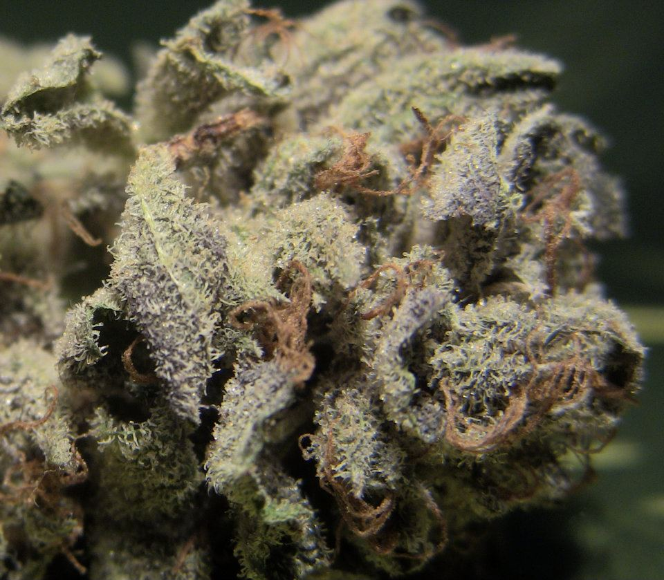 Purple Kush with desnse trichome coverage.