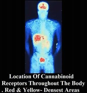 Cannabis receptors in the human body