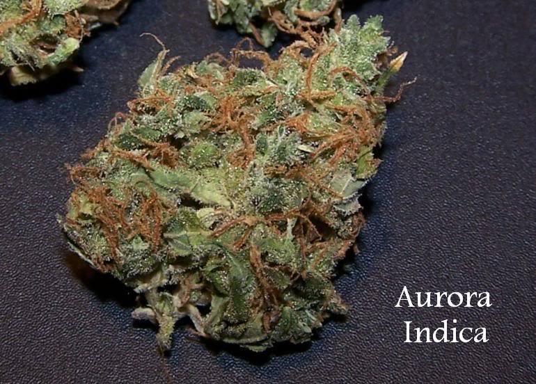Aurora Indica